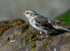 Snow Bunting taken March 30, 2013 on Barview Jetty in Barview, OR.